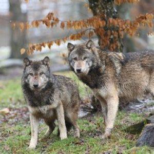 les-loups